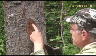 Ленинградская область готовит для своих лесов более 30 млн сеянцев хвойных пород