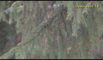 Где и как срубить елку к Новому году?