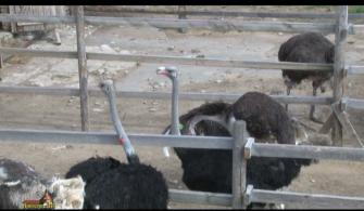 Страусиная  ферма - 2015г.